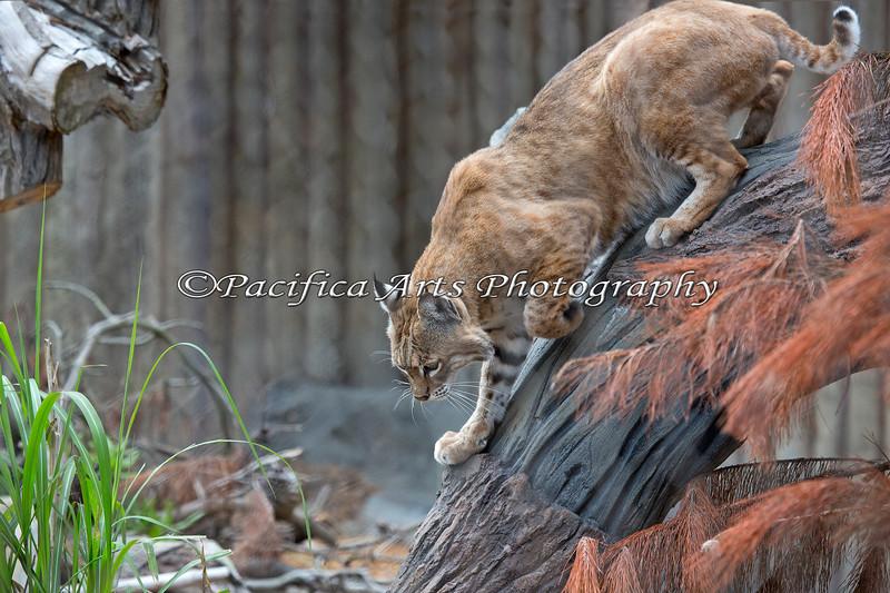 Bobcat, Inti, likes to climb up and down his tree.