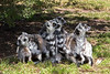 A pile of Ring-tailed Lemurs.  It's hard to tell which taile belongs to which Lemur!
