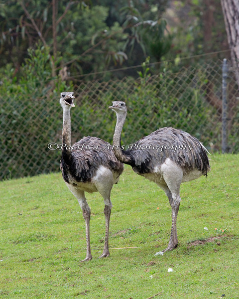 A couple of Greater Rheas in the Puente al Sur exhibit
