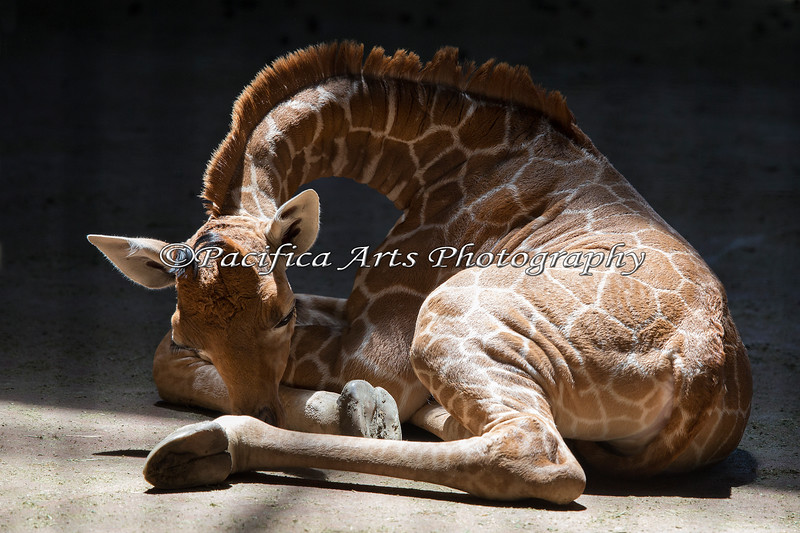 12 day old, sleepy Erin, takes a nap in the Giraffe Barn (Reticulated Giraffe)