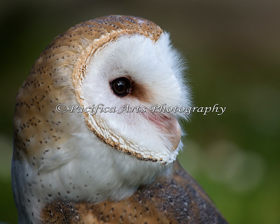 Headstudy of Wilbur, a Barn Owl - so many different feathers!