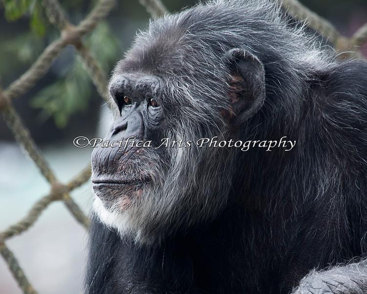 Chimpanzee - Cobby