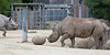Boone pushes his toy around the yard, while his Grandma, Elly looks on.  (Black Rhinoceros)