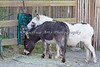 Mediterranian Donkeys - Pablo & Luna.  They seem to be enjoying this new hay feeder.  Luna works at pulling the hay out of the gaps, and Pablo picks up what she drops.  Ah, teamwork!