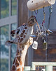Now here's an interesting enrichment toy - something that jingles and is made of all different shapes!  (Reticulated Giraffe)