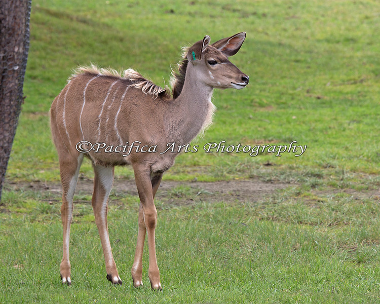Juvenile Greater Kudu