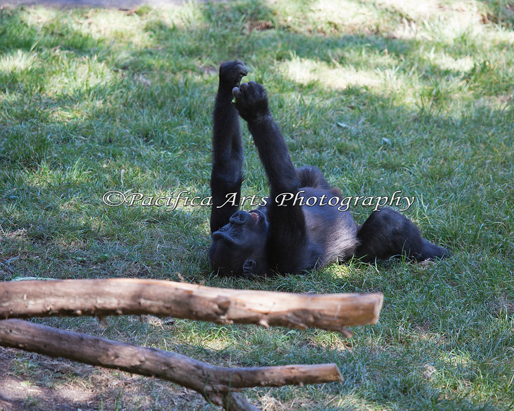 Hasani dropping grass on himself from above.  This little guy is always having fun with something!
