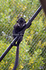 Francois' Langur - Romo - is still for a whole second!  You've got to be fast with the shutter on these guys!