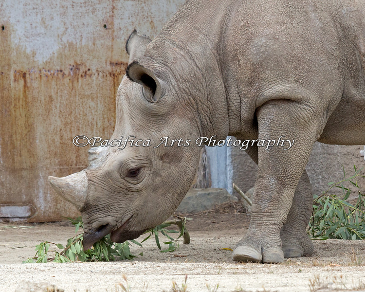 Boone, a young Black Rhinoceros, munching on some acacia leaves