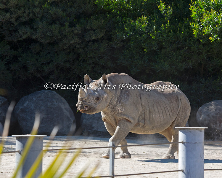 Elly, a Black Rhinoceros, trots over for a better look.