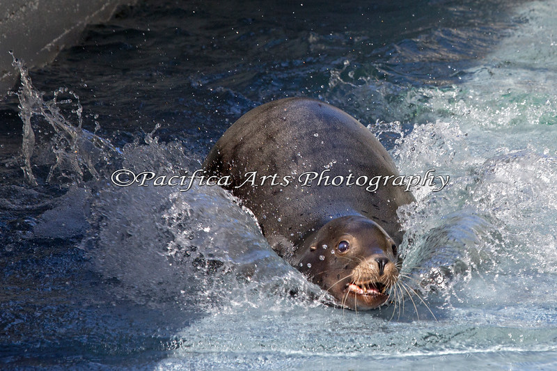 Another picture of Henry making great waves. (California Sea Lion)