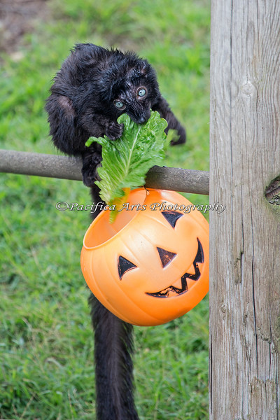 A Blue-eyed Black Lemur finds some special treats in the Jack-o-lantern during Boo at the Zoo.