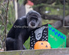 "Cobby, a male Chimpanzee, investigates a box of goodies, during ""Boo at the Zoo""."