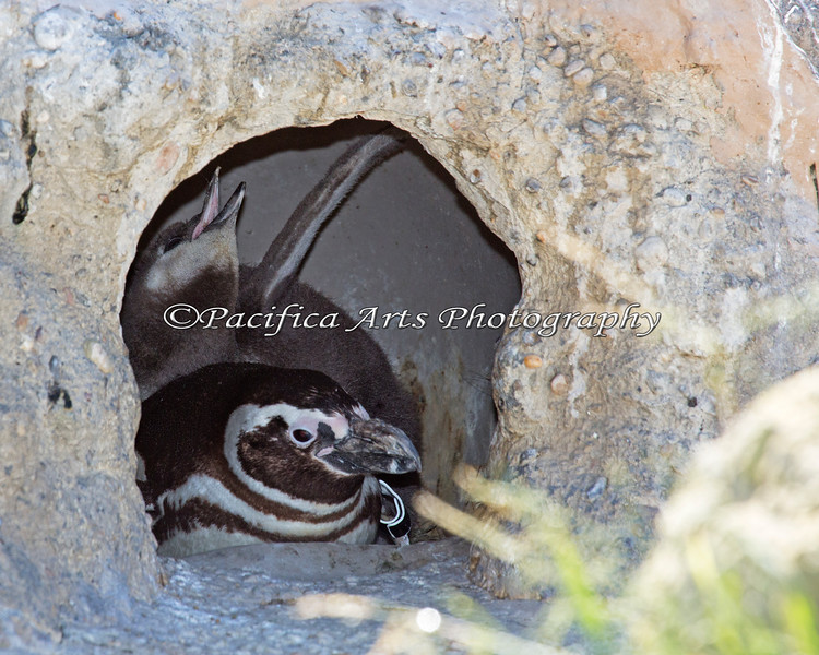 A baby Magellanic Penguin stretches out a bit in the burrow.  That's a BIG baby!