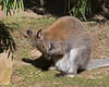 There are two Bennett's Wallabies in this photo, but one is hiding in the pouch!