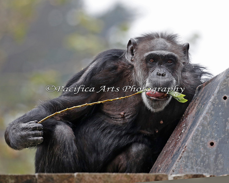 Chimpanzee, Maggie - twigging.  Whatever she's finding must be tasty!