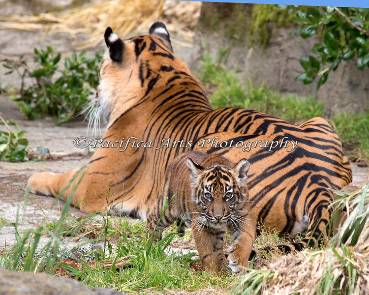 Baby Tiger, Jillian sees something interesting, and goes off to investigate.  (Sumatran Tiger, Leanne & Jillian)