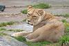 Sukari, an African Lioness.