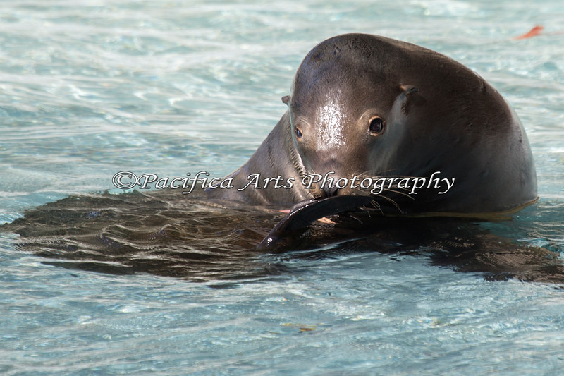 Henry, scratching his nose.  There are nails on the end of his flippers that he uses to scratch with.  (California Sea Lion)