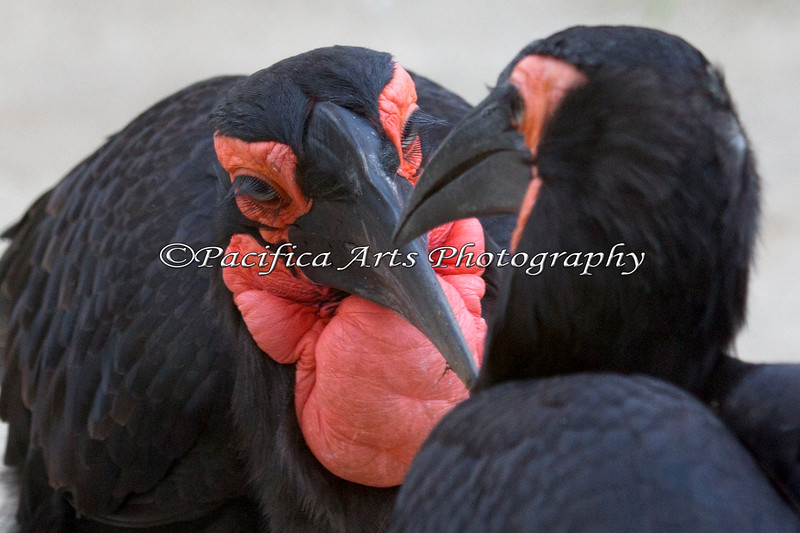 A pair of Southern Ground Hornbills.  Love the eyelashes!