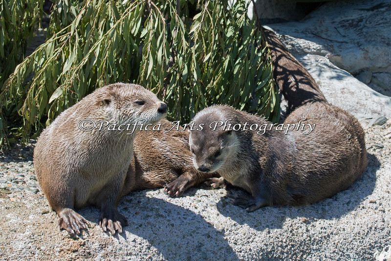 North American River Otters - Trent & Kellie