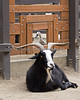 """Photo bombed!""   Here's Basil, a Nigerian Dwarf Goat & one of the Indian Runner Ducks getting in on the picture."
