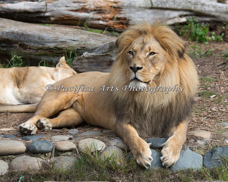 African Lion, Jahari, watching the visitors.  Amanzi is asleep in the back.