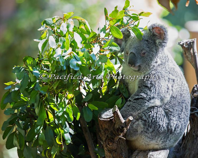 Cynthia, the Koala, out in her yard