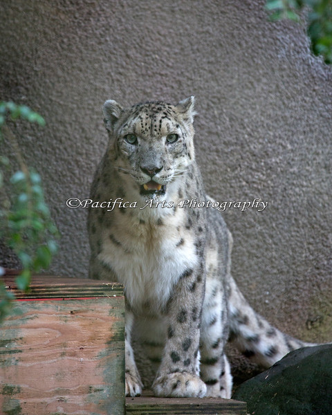 Rigel has some big, furry paws! (Snow Leopard)