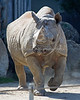 It's Elly, a senior Black Rhinoceros!  She's in her 40s - Wow!