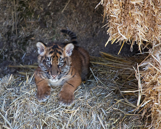 """Adorable """"Jillian"""" (Sumatran Tiger cub), about 8 weeks old.  This photo was published on the cover of the """"Where"""" Magazine in Summer 2013."""
