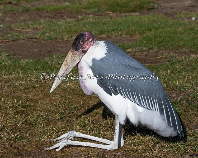 I bet you've never seen a Marabou Stork smile!  :)