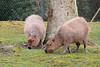 Capybara sisters