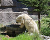 Polar Bear, Ulu, finds a tub of cool water on a very hot day...