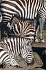 """Stripes"" by three Grant's Zebras."