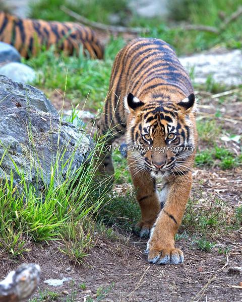 Seven month old Jillian is growing into those big paws.  (Sumatran Tiger)