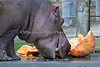 "Guess what ""Brian Wilson"" loves to eat?  Yep, a Hippo sized pumpkin!   (Nile Hippopotamus)"
