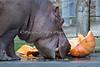 """Guess what """"Brian Wilson"""" loves to eat?  Yep, a Hippo sized pumpkin!   (Nile Hippopotamus)"""