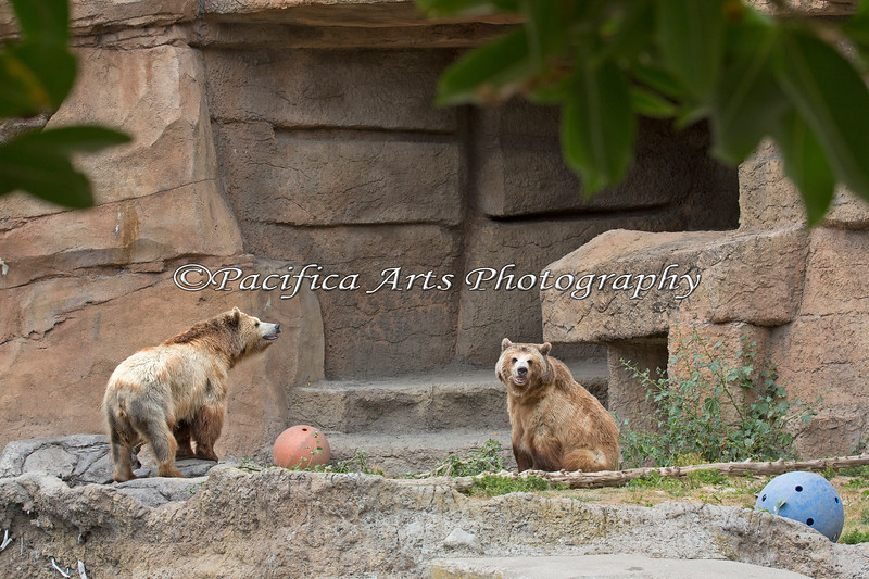 Kachina (on the left) & Kiona (on the right), Grizzly Bear sisters.