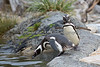 I couldn't help but laugh when I saw this one!  (Magellanic Penguins)