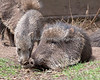 """Mommy, can we play now?""  Baby Chacoan Peccary, Brennan, nuzzles its Mom."