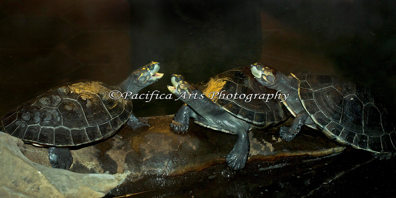 "Yellow-spotted Amazon River Turtles playing ""King of the Log""."