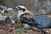 This Laughing Kookaburra has found its lunch.