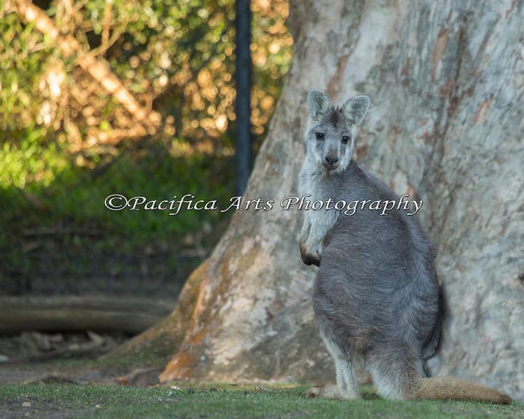 A Hill Wallaroo - the new marsupial on the block.