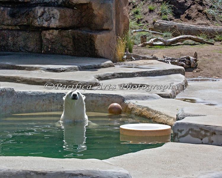 Uulu, the Polar Bear, enjoying her pool.