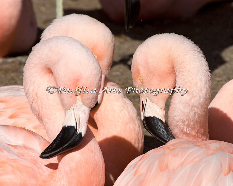 A flock of Chilean Flamingos, absorbing some sunshine.