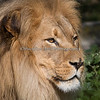 Beautiful Jahari (African Lion)