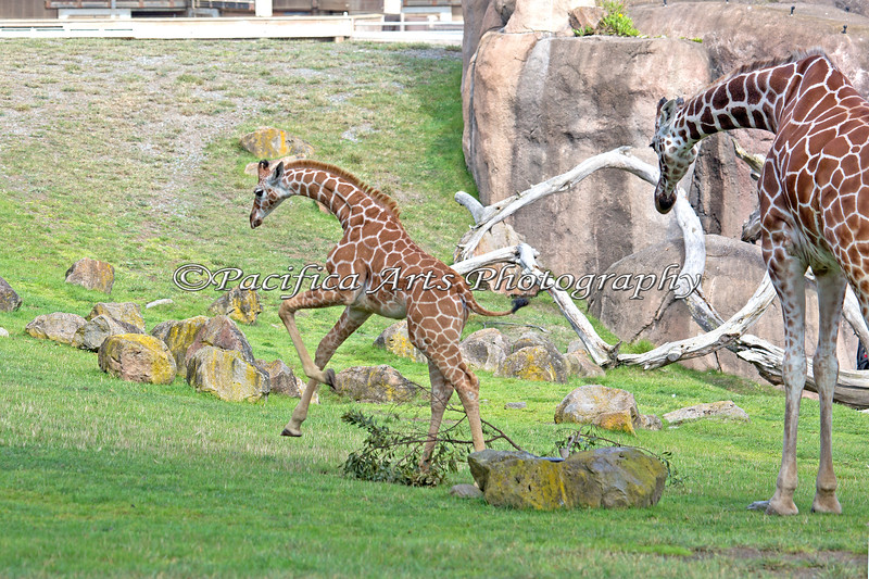 Erin takes off on a run. Bititi is on the right. (Reticulated Giraffes)
