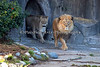 Here comes the African Lions!  (Jahari, Sukari & Amanzi in the back)