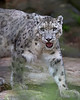 Snow Leopard, Rigel, walking around his yard.  Love his expression!